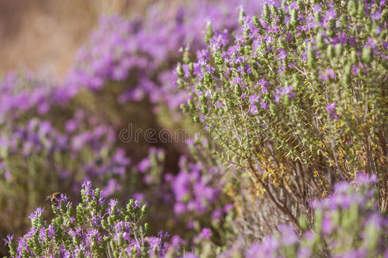 Flores do arbusto dos oréganos foto de stock royalty free