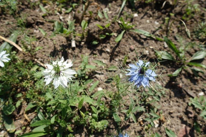 2 flores do azul e do branco do damascena de Nigella imagem de stock