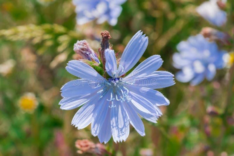 flores do Azul-lilás do alimento, chicória das plantas medicinais entre a grama verde no campo, no prado, foto de stock
