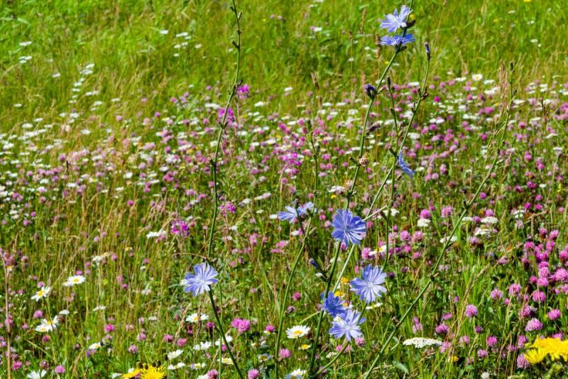 flores do Azul-lilás do alimento, chicória das plantas medicinais entre a grama verde no campo, no prado, fotografia de stock royalty free