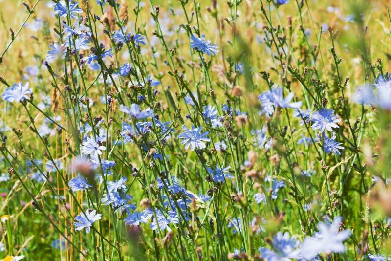 flores do Azul-lilás do alimento, chicória das plantas medicinais entre a grama verde no campo, no prado, foto de stock royalty free