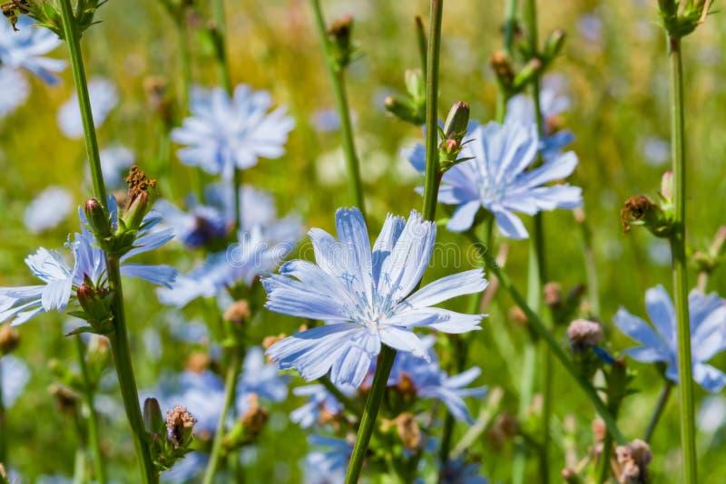 flores do Azul-lilás do alimento, chicória das plantas medicinais entre a grama verde no campo, no prado, fotos de stock royalty free