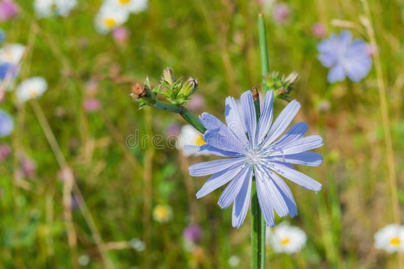 flores do Azul-lilás do alimento, chicória das plantas medicinais entre a grama verde no campo, no prado, imagem de stock royalty free