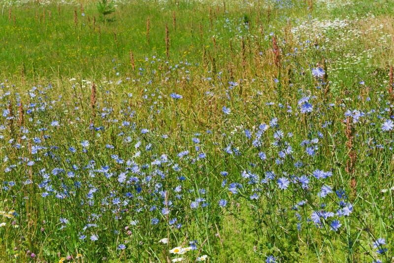 flores do Azul-lilás do alimento, chicória das plantas medicinais entre a grama verde no campo, no prado, imagens de stock