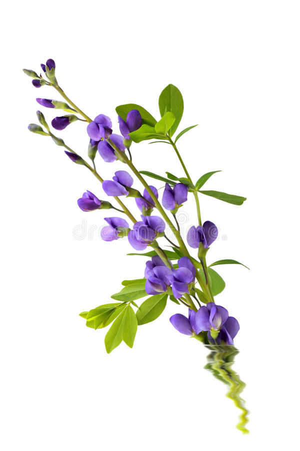 Flores do Baptisia fotos de stock
