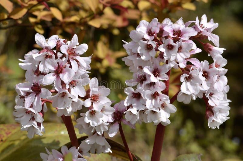 Flores do Bergenia imagens de stock royalty free