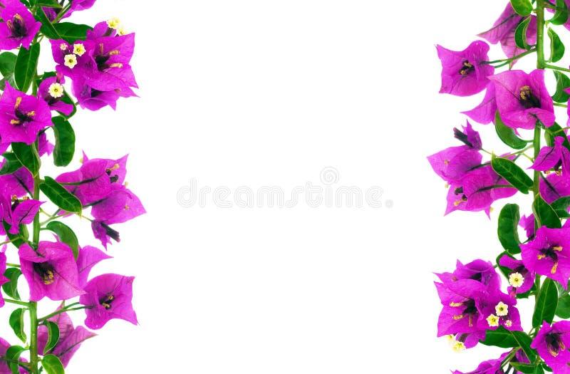 Flores do Bougainvillea fotos de stock