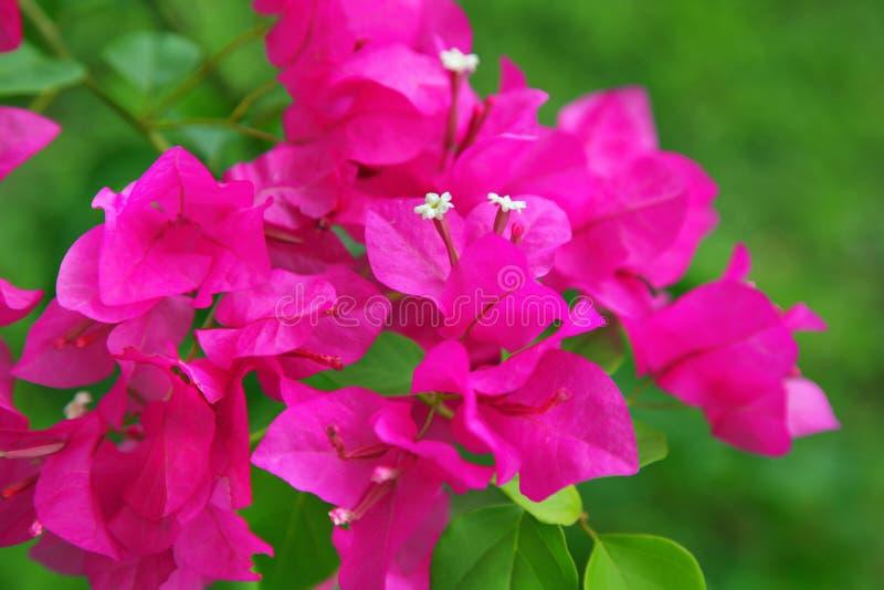 Flores do Bougainvillea fotografia de stock royalty free