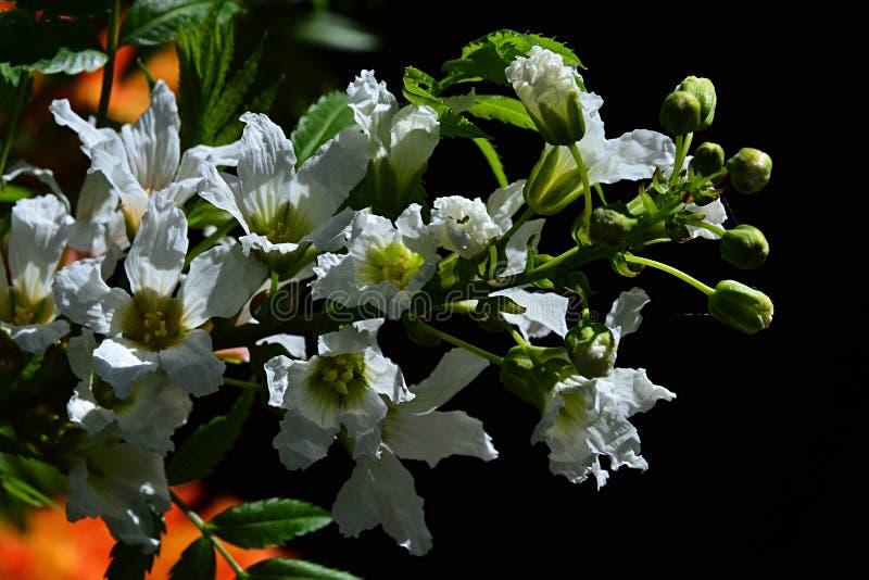 Flores do branco e botões de florescência do sorbifolium de Xanthoceras do yellowhorn no fundo escuro fotos de stock royalty free
