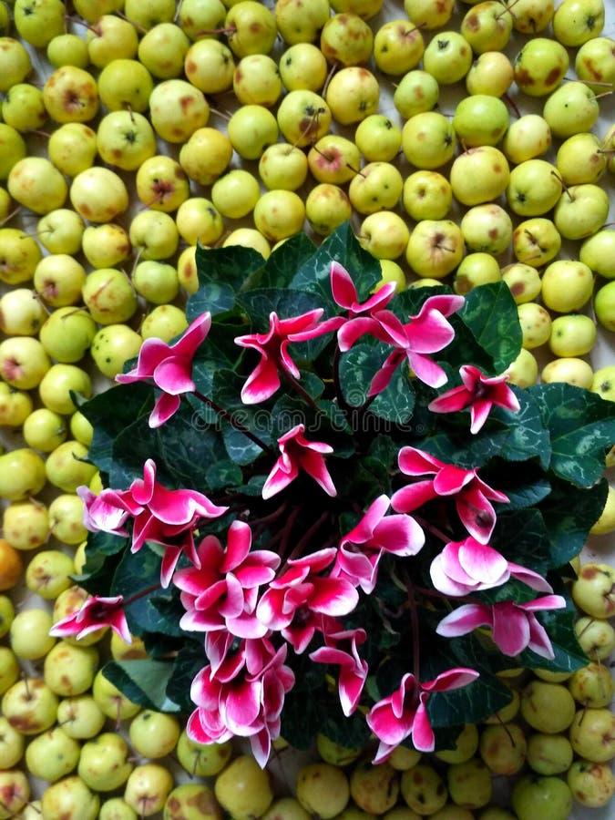 Flores do cíclame no fundo da maçã fotos de stock royalty free