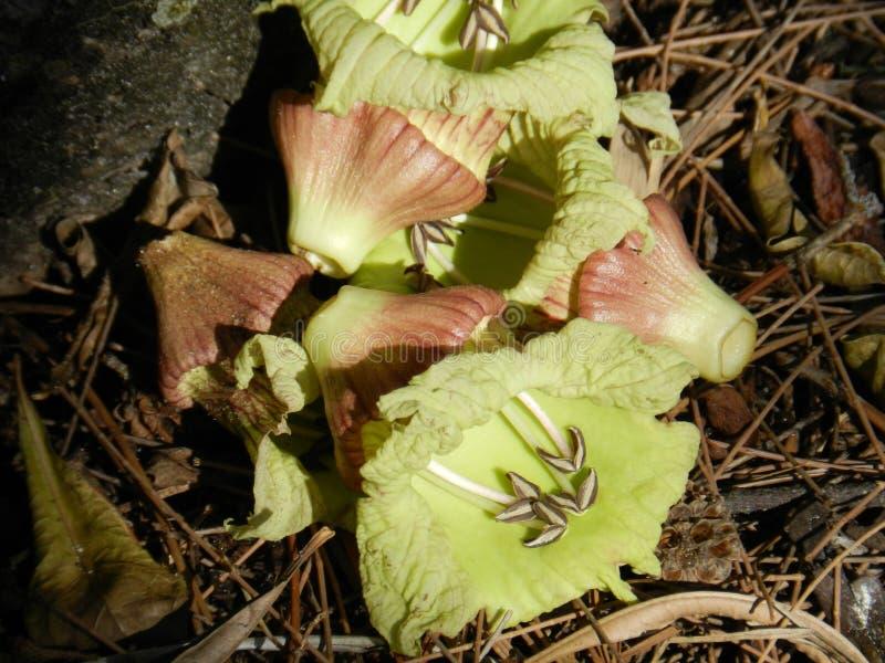 Flores do cabaceiro imagem de stock