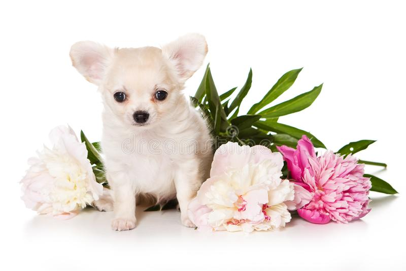 Flores do cachorrinho e da peônia do cão da chihuahua fotografia de stock