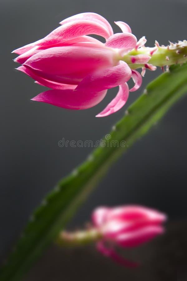 Flores do cacto fotografia de stock