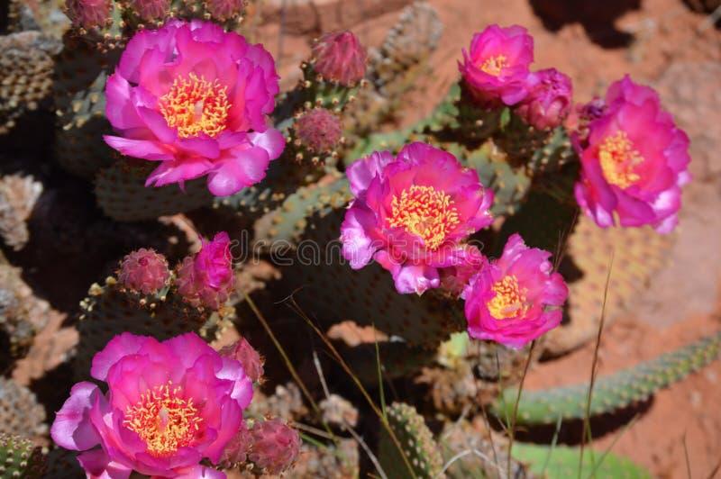 Flores do cacto de Beavertail no vale do Rio Colorado foto de stock