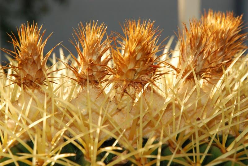 Flores do cacto de tambor dourado com verde fotografia de stock