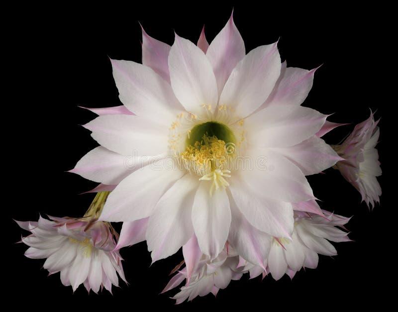 Flores do cacto Echinopsis Oxygona foto de stock royalty free