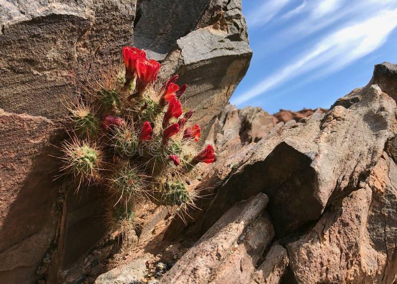 Flores do cacto nas rochas fotos de stock royalty free
