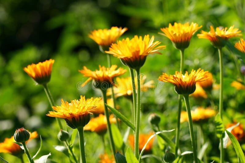 Flores do Calendula fotos de stock royalty free