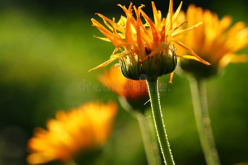 Flores do Calendula imagem de stock royalty free