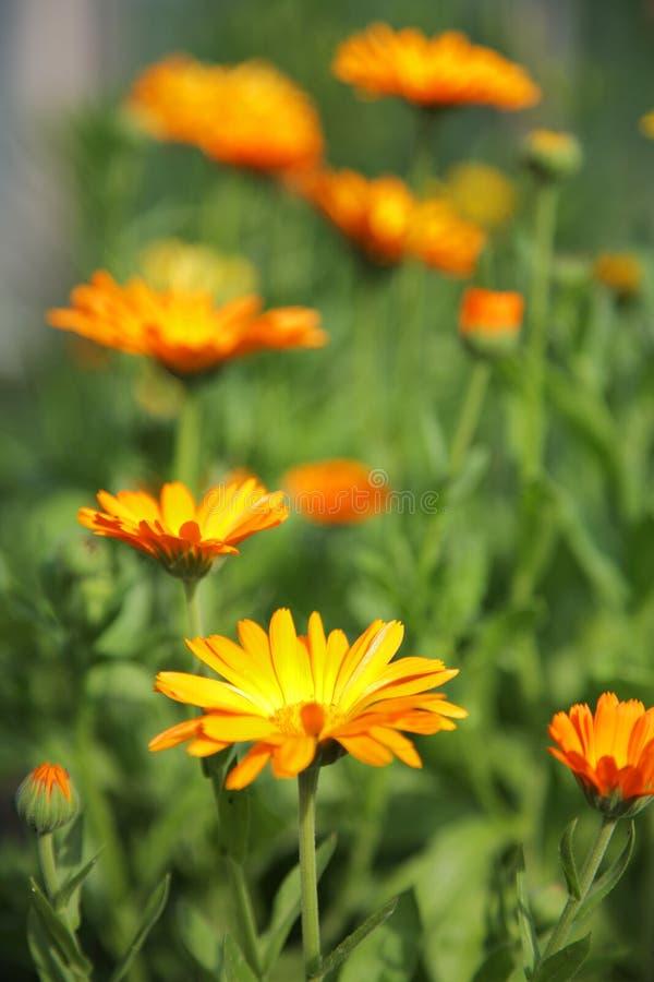 Flores do Calendula foto de stock