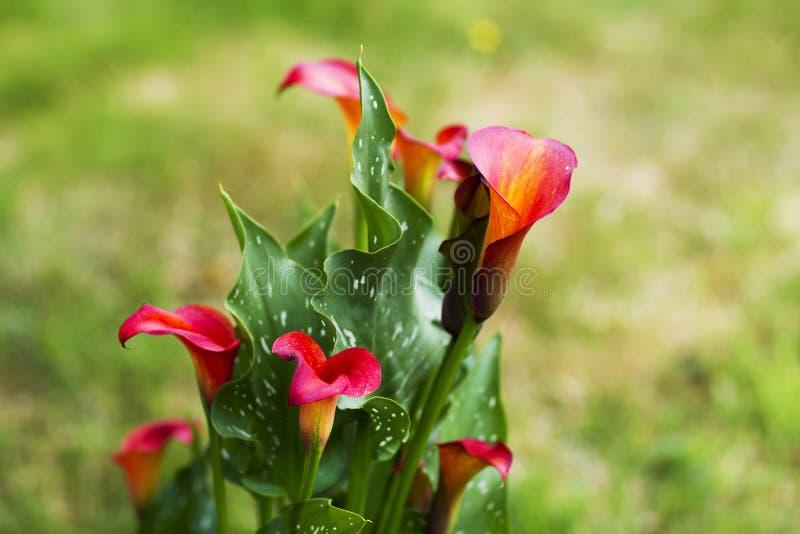 Flores do Calla no jardim fotos de stock royalty free