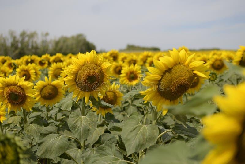 Flores do campo fotografia de stock