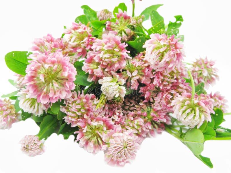 Flores do campo do trevo imagens de stock royalty free