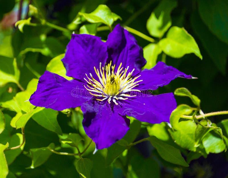 Flores do clematis roxo fotografia de stock royalty free