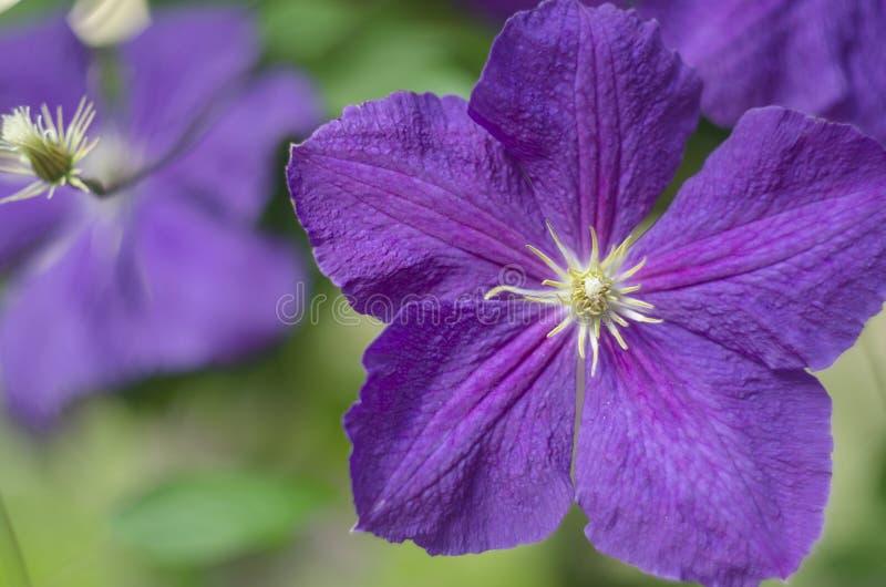 Flores do clematis Flores do clematis roxo imagens de stock