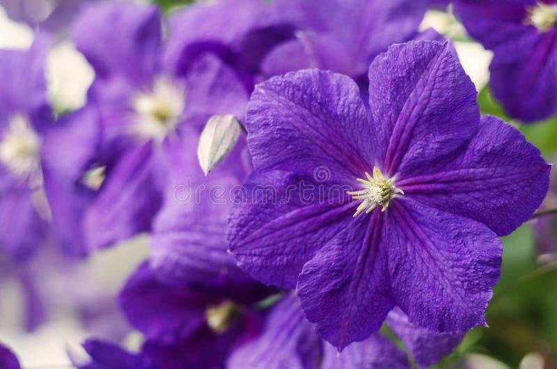 Flores do clematis Flores do clematis roxo imagem de stock royalty free