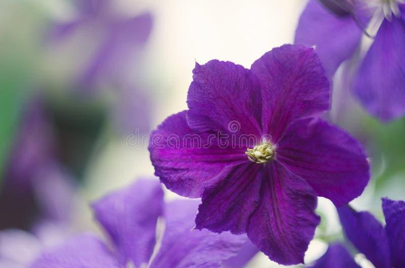 Flores do clematis Flores do clematis roxo fotos de stock royalty free