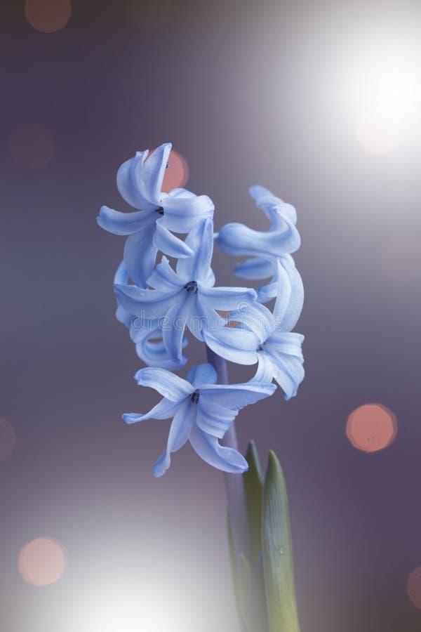 Flores do close-up branco-azul-violeta do jacinto Colagem da flor para o cartão nave imagem de stock royalty free