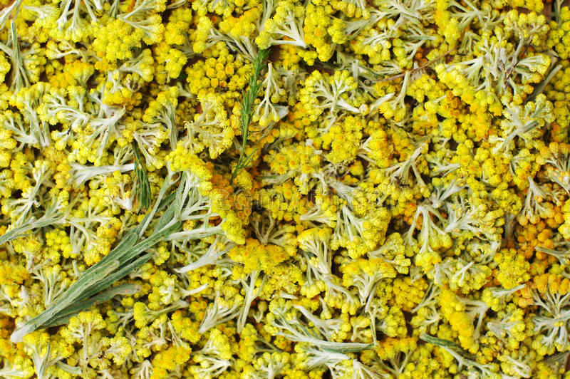 Flores do close up do arenarium do helichrysum Fundo amarelo brilhante da flor fotografia de stock