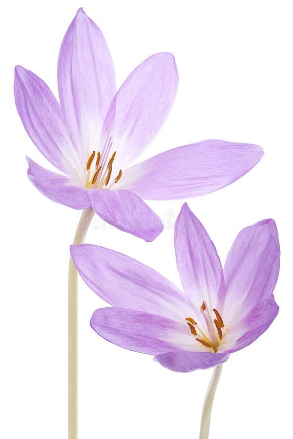 Flores do Colchicum imagem de stock royalty free