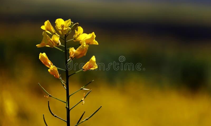 Flores do Cole foto de stock royalty free