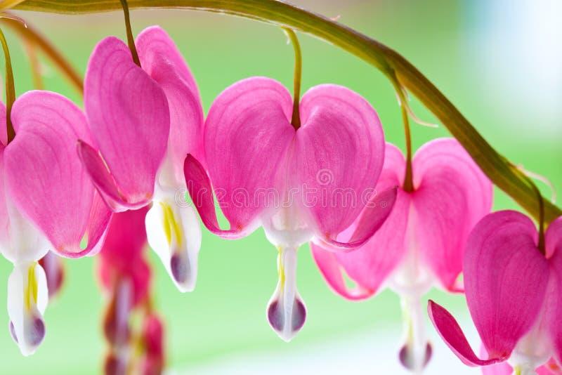 Flores do coração de sangramento imagens de stock