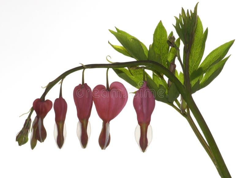 Flores do coração de sangramento no branco foto de stock royalty free