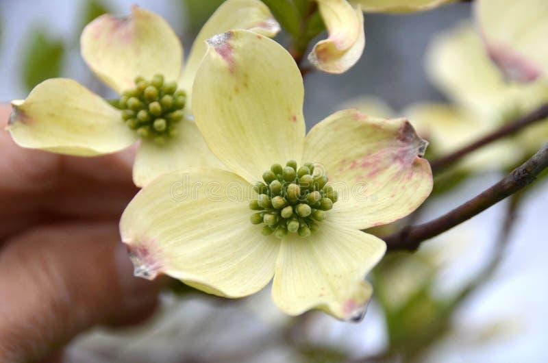 Flores do corniso imagem de stock royalty free