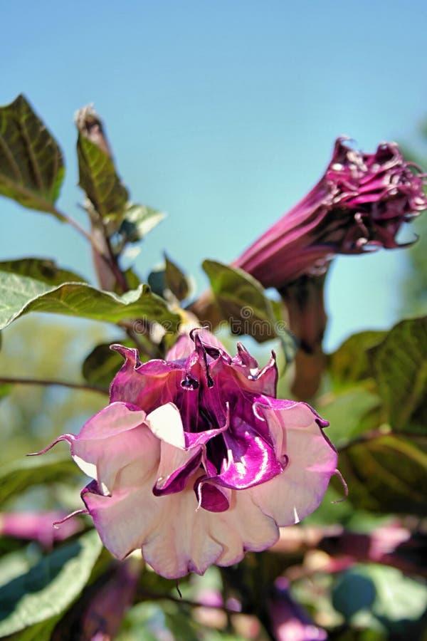Flores do Cornucopia do estramónio   imagens de stock