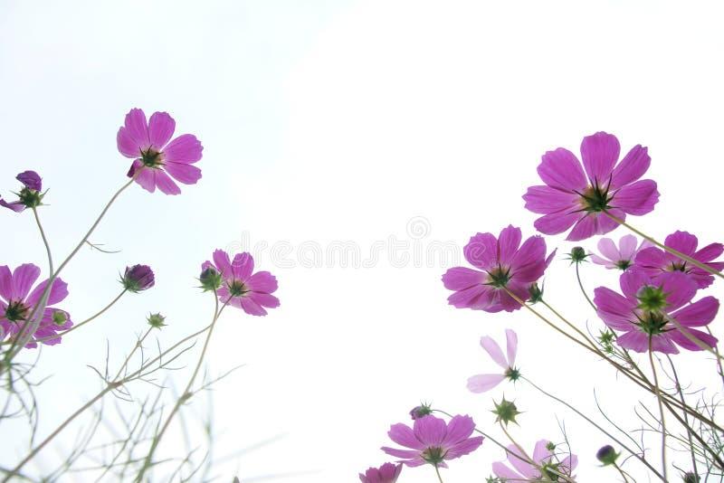 Download Flores do cosmos imagem de stock. Imagem de buds, chrysanthemum - 26510497