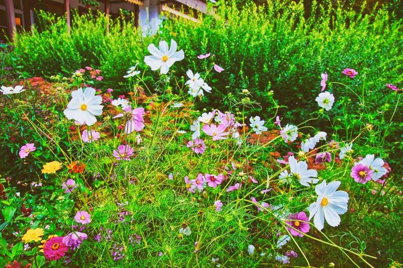 Flores do cosmos de Lauterbrunnen no verão de Suíça do cantão de Berna fotos de stock royalty free
