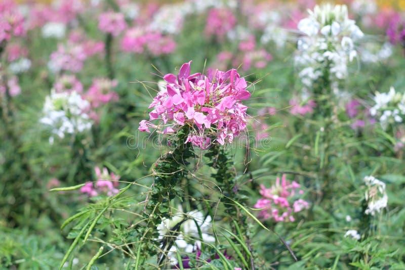 Flores do cosmos do enxofre na exploração agrícola fotos de stock
