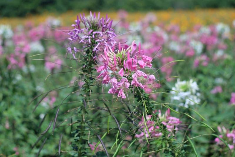 Flores do cosmos do enxofre na exploração agrícola fotografia de stock
