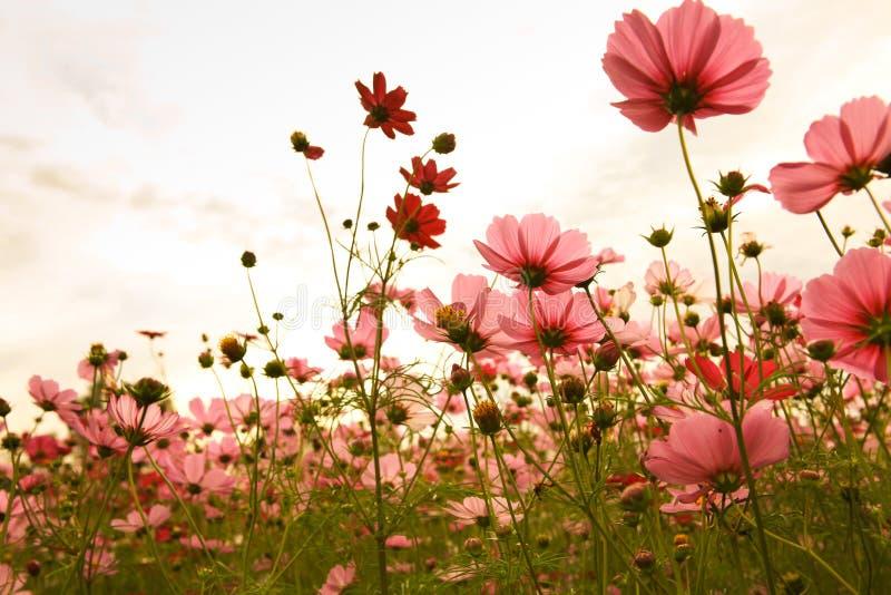 Flores do cosmos no por do sol fotos de stock