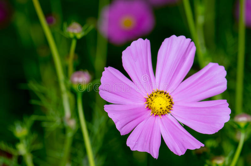 Flores do cosmos que florescem belamente sol suave da manhã imagens de stock