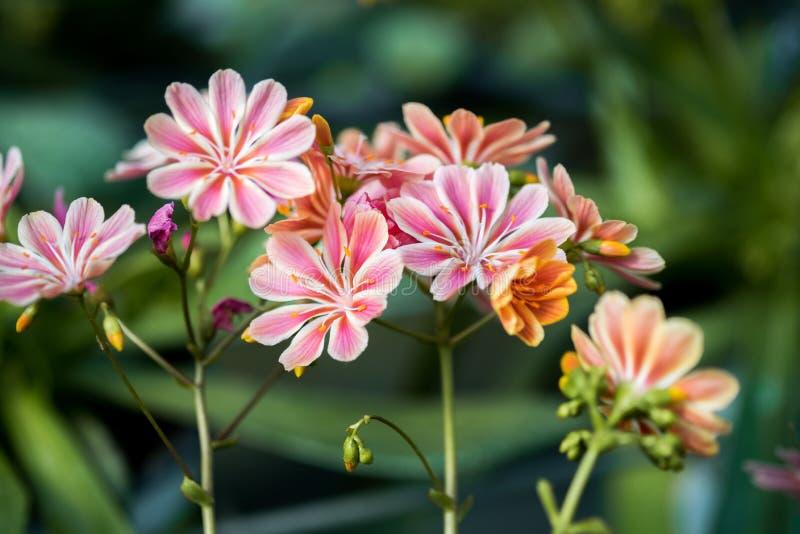Flores do cotilédone do Lewisia na estufa imagens de stock royalty free