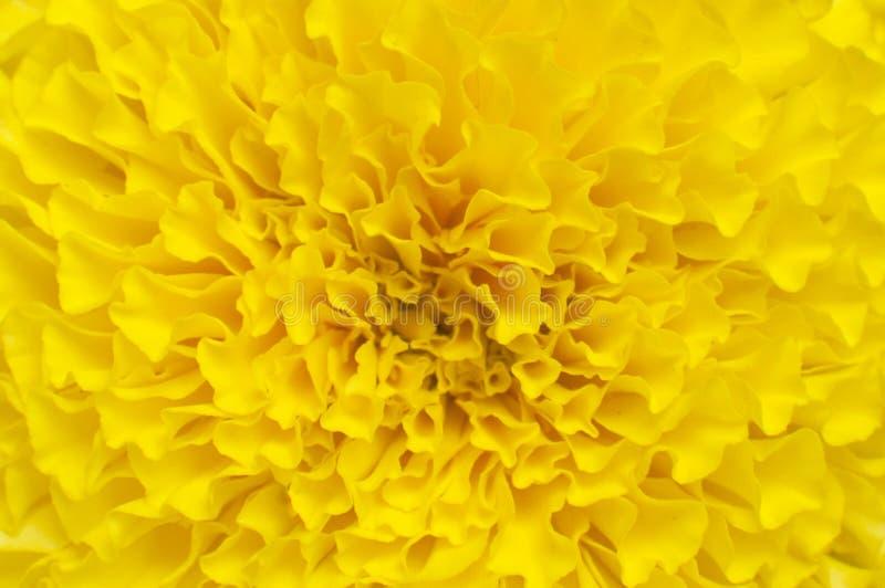 Flores do cravo-de-defunto fotografia de stock