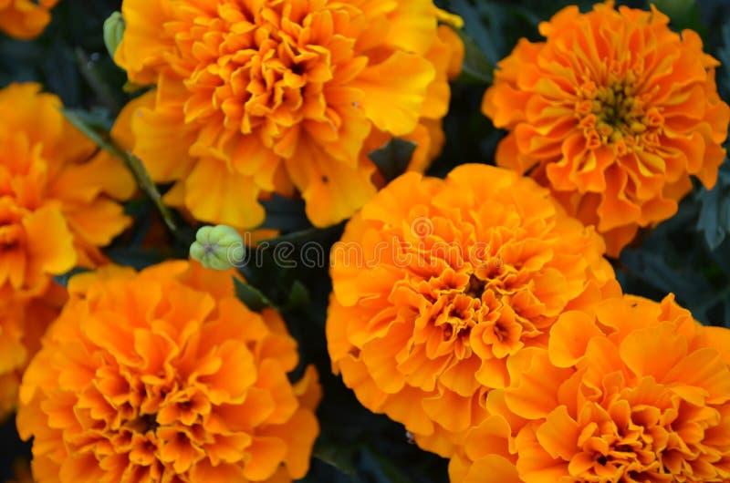 Flores do cravo-de-defunto fotografia de stock royalty free