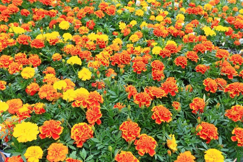 Flores do cravo-de-defunto fotos de stock