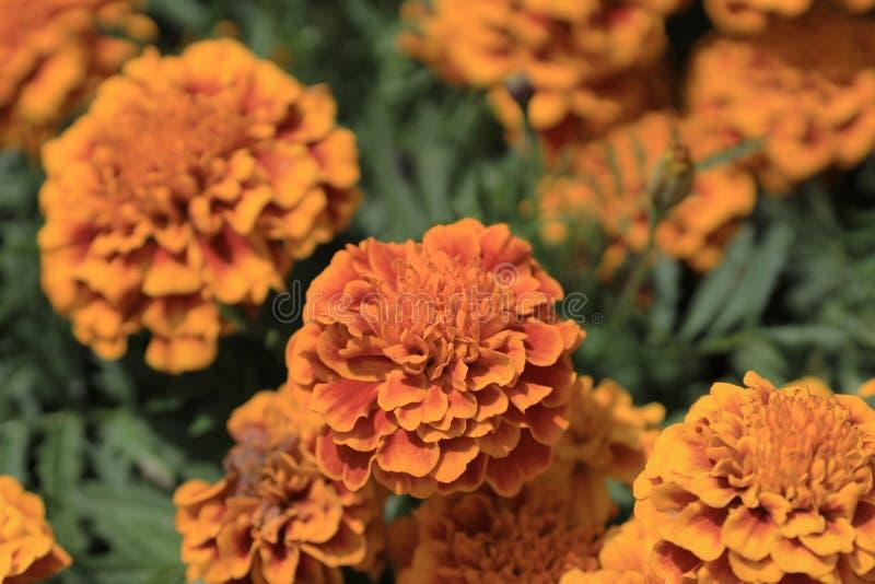 Flores do cravo-de-defunto foto de stock royalty free